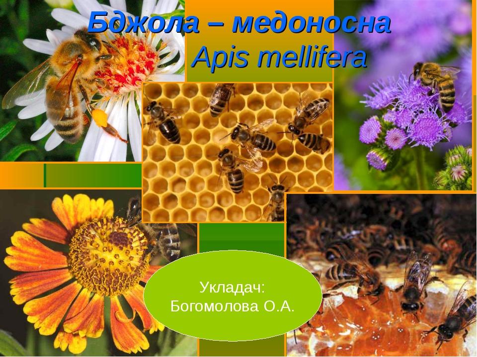Бджола – медоносна Apis mellifera Укладач: Богомолова О.А.