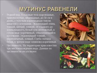Редкий вид. Плодовые тела шаровидные, приплюснутые, яйцевидные, до 50 см в ди