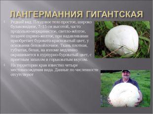 Редкий вид. Плодовое тело простое, широко булавовидное, 7–15 см высотой, част
