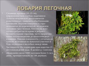 Слоевище крупное (10–25 см), широколопастное, глубоко вырезанное. Лопасти неп
