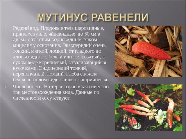 Редкий вид. Плодовые тела шаровидные, приплюснутые, яйцевидные, до 50 см в ди...