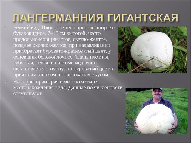 Редкий вид. Плодовое тело простое, широко булавовидное, 7–15 см высотой, част...