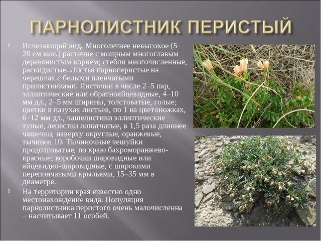 Исчезающий вид. Многолетнее невысокое (5–20 см выс.) растение с мощным многог...