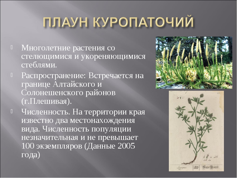 Многолетние растения со стелющимися и укореняющимися стеблями. Распространени...