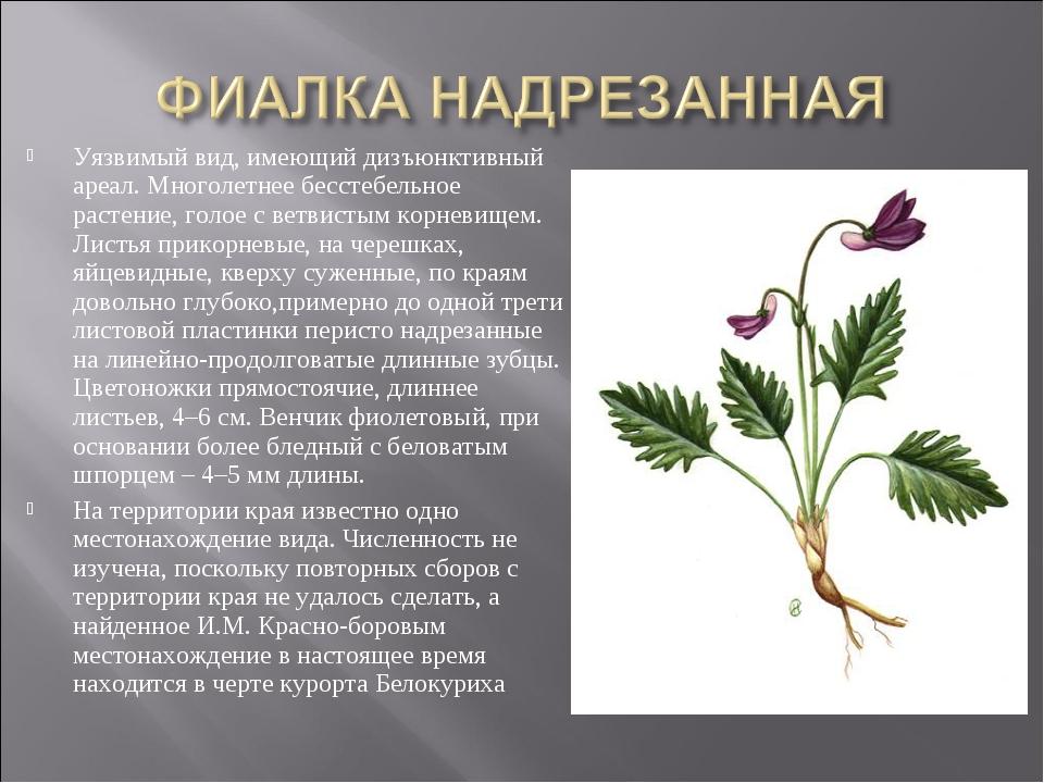 Уязвимый вид, имеющий дизъюнктивный ареал. Многолетнее бесстебельное растение...