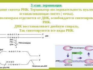3 этап: терминация. Окончание синтеза РНК. Терминатор-последовательность нукл