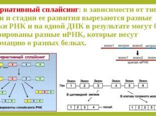 Альтернативный сплайсинг: в зависимости от типа клетки и стадии ее развития в