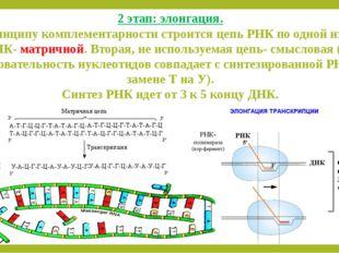 2 этап: элонгация. По принципу комплементарности строится цепь РНК по одной и