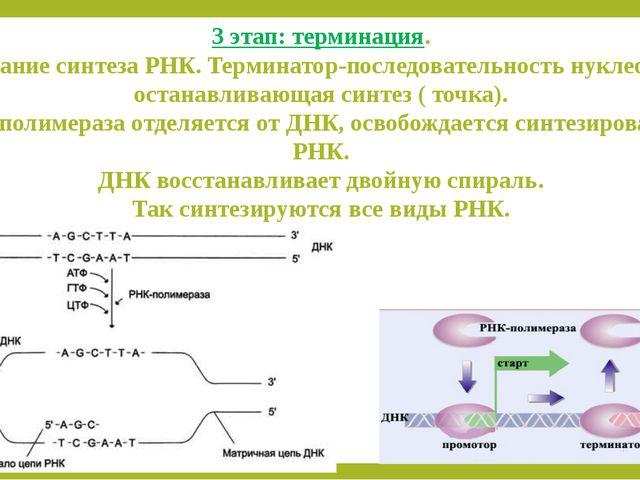 3 этап: терминация. Окончание синтеза РНК. Терминатор-последовательность нукл...