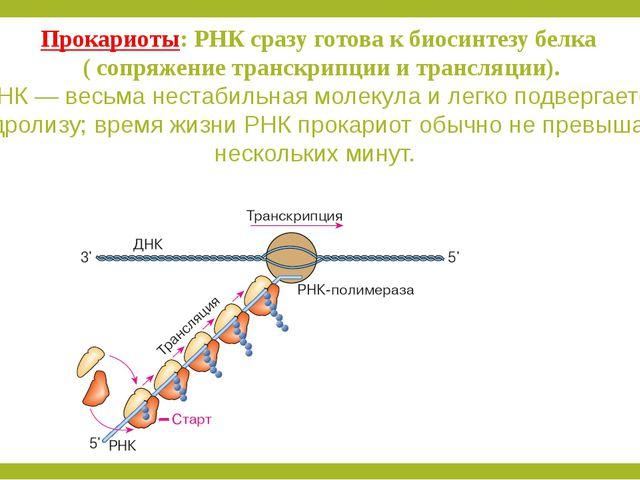 Прокариоты: РНК сразу готова к биосинтезу белка ( сопряжение транскрипции и т...