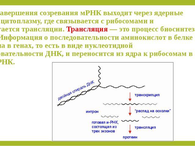 После завершения созревания мРНК выходит через ядерные поры в цитоплазму, где...