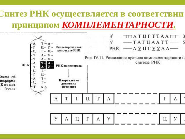 Синтез РНК осуществляется в соответствии с принципом КОМПЛЕМЕНТАРНОСТИ.