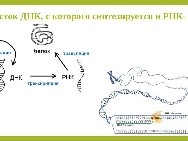 Участок ДНК, с которого синтезируется и РНК- ген.