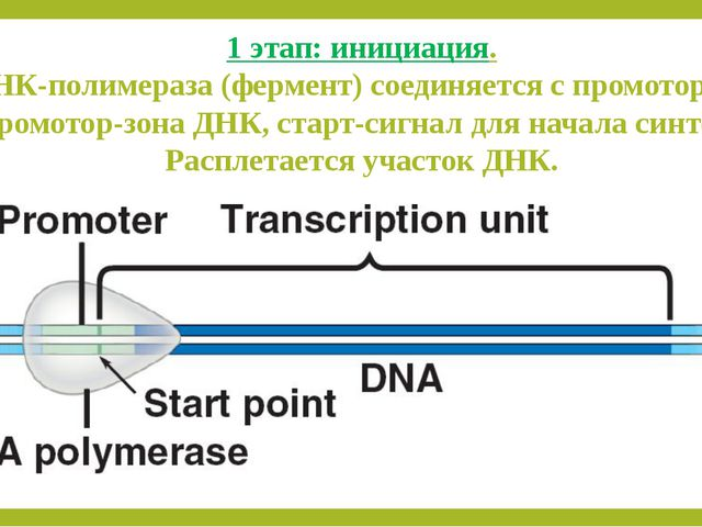 1 этап: инициация. РНК-полимераза (фермент) соединяется с промотором. Промото...