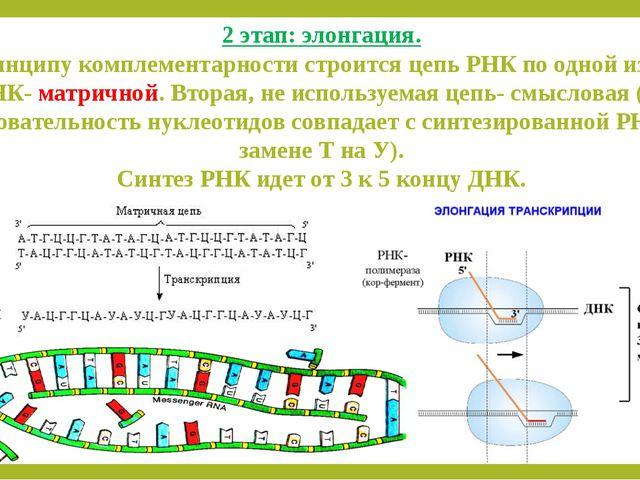 2 этап: элонгация. По принципу комплементарности строится цепь РНК по одной и...