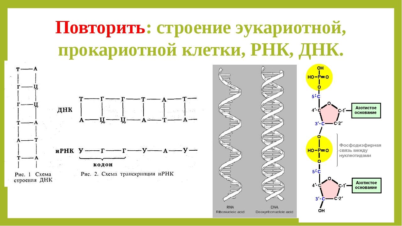 Повторить: строение эукариотной, прокариотной клетки, РНК, ДНК.