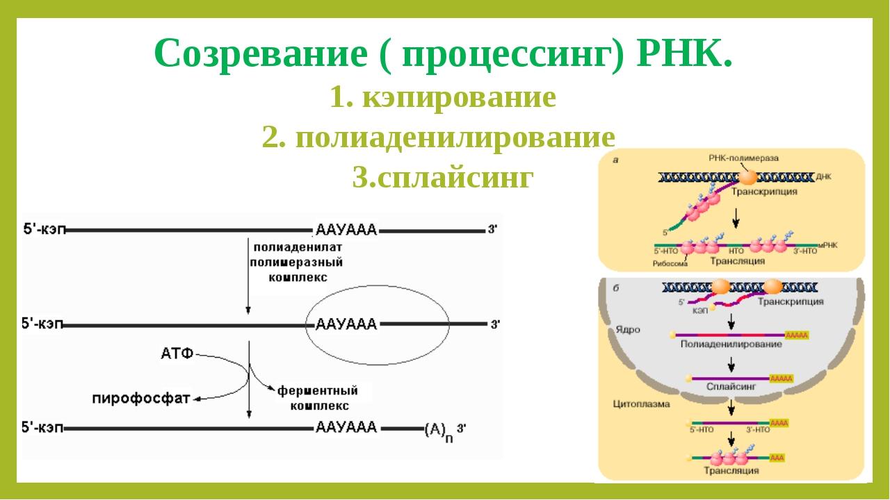 Созревание ( процессинг) РНК. 1. кэпирование 2. полиаденилирование 3.сплайсинг
