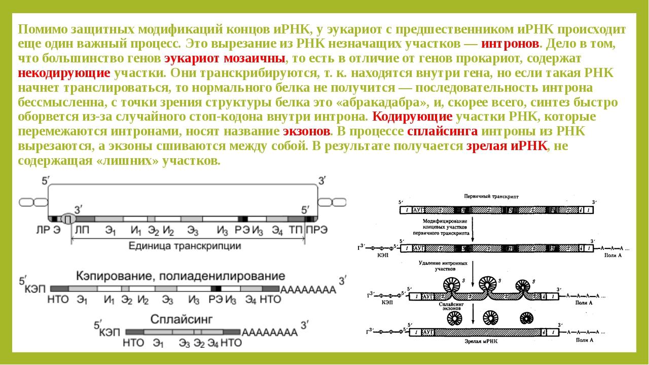 Помимо защитных модификаций концов иРНК, у эукариот с предшественником иРНК п...