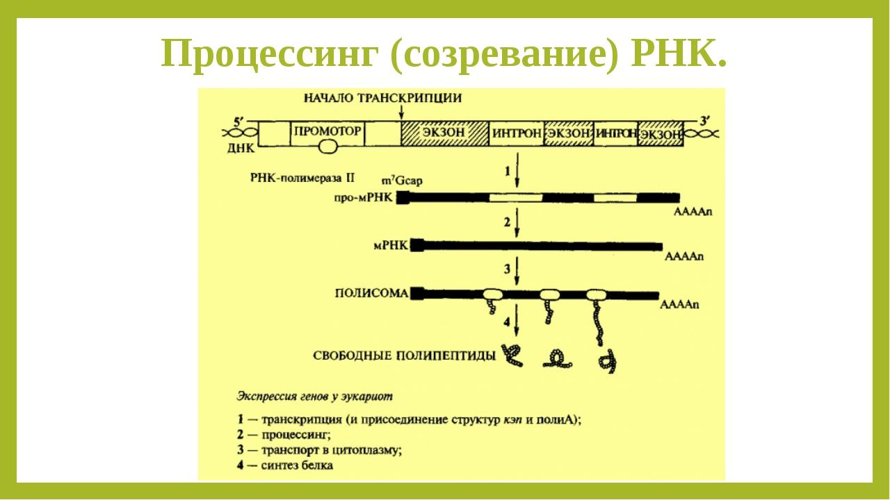 Процессинг (созревание) РНК.