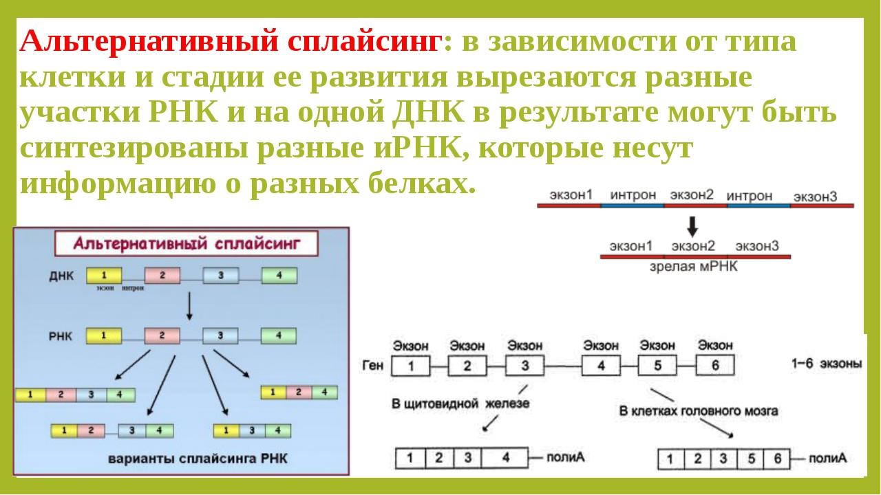 Альтернативный сплайсинг: в зависимости от типа клетки и стадии ее развития в...