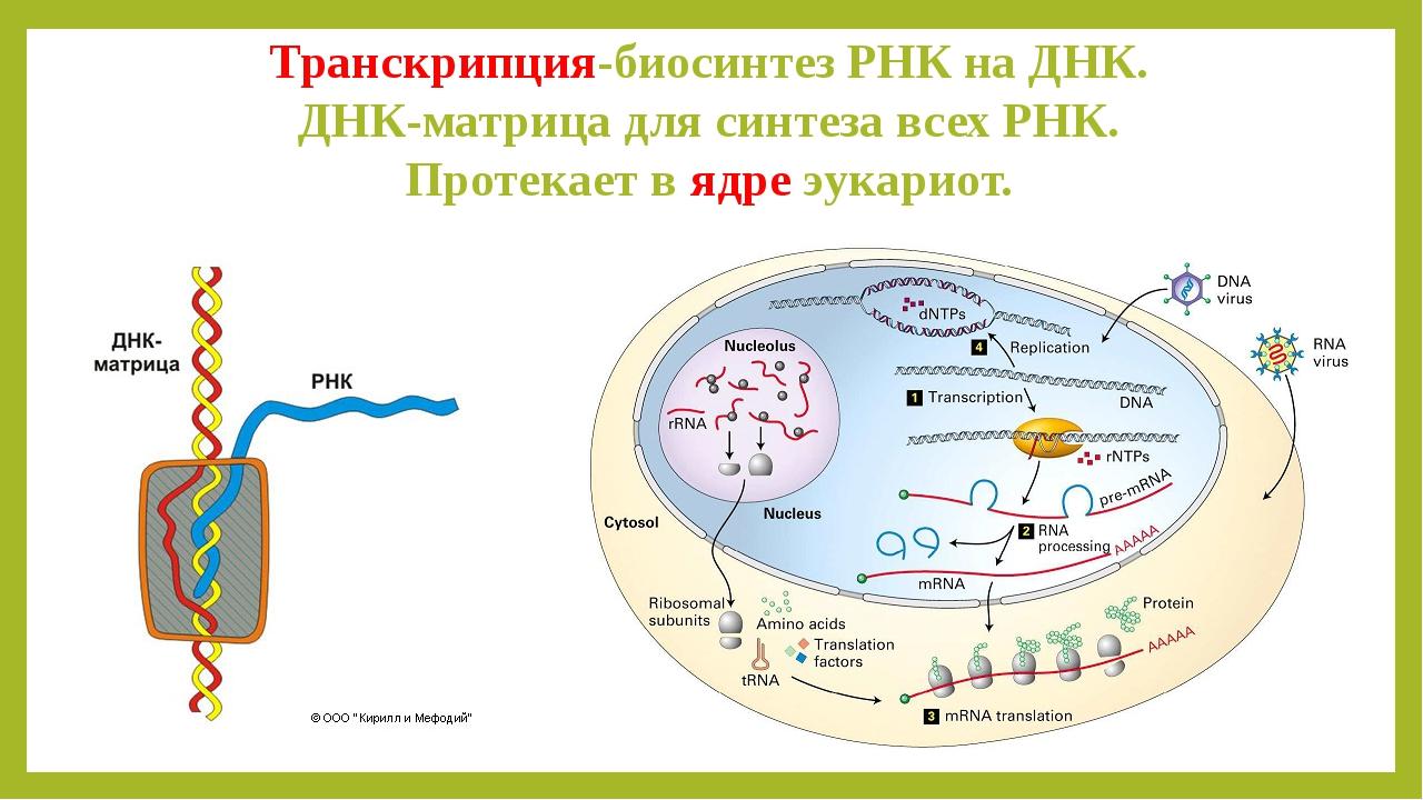 Транскрипция-биосинтез РНК на ДНК. ДНК-матрица для синтеза всех РНК. Протекае...
