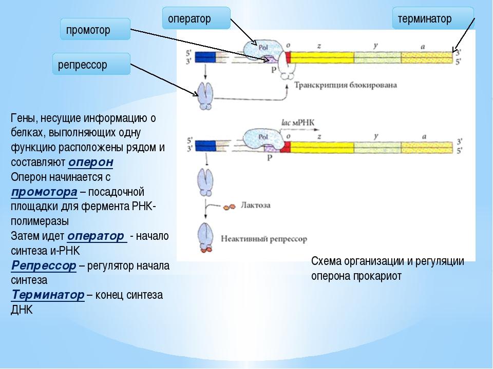 Транскрипция Транскрипция – перенос информации с ДНК на и-РНК. В транскрипции...