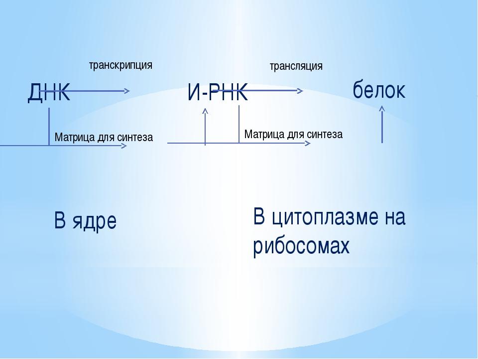 ДНК транскрипция И-РНК трансляция белок Матрица для синтеза Матрица для синте...