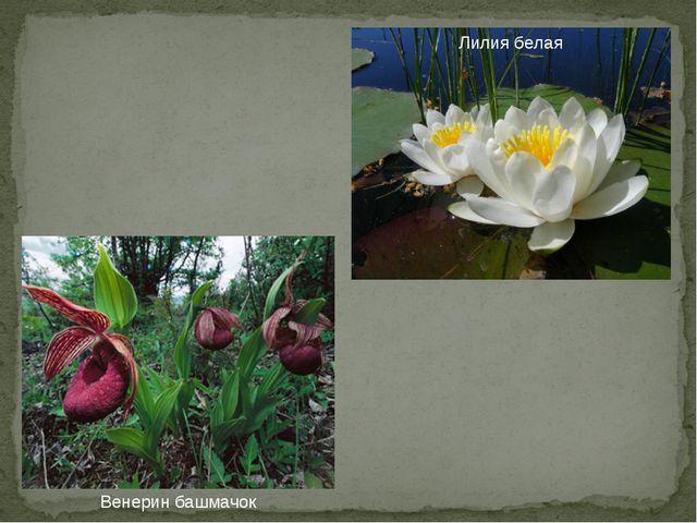 Венерин башмачок Лилия белая