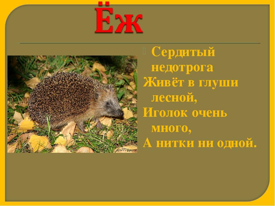 Сердитый недотрога Живёт в глуши лесной, Иголок очень много, А нитки ни одной.