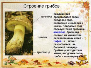 Строение грибов Каждый гриб представляет собой плодовое тело, состоящее из шл