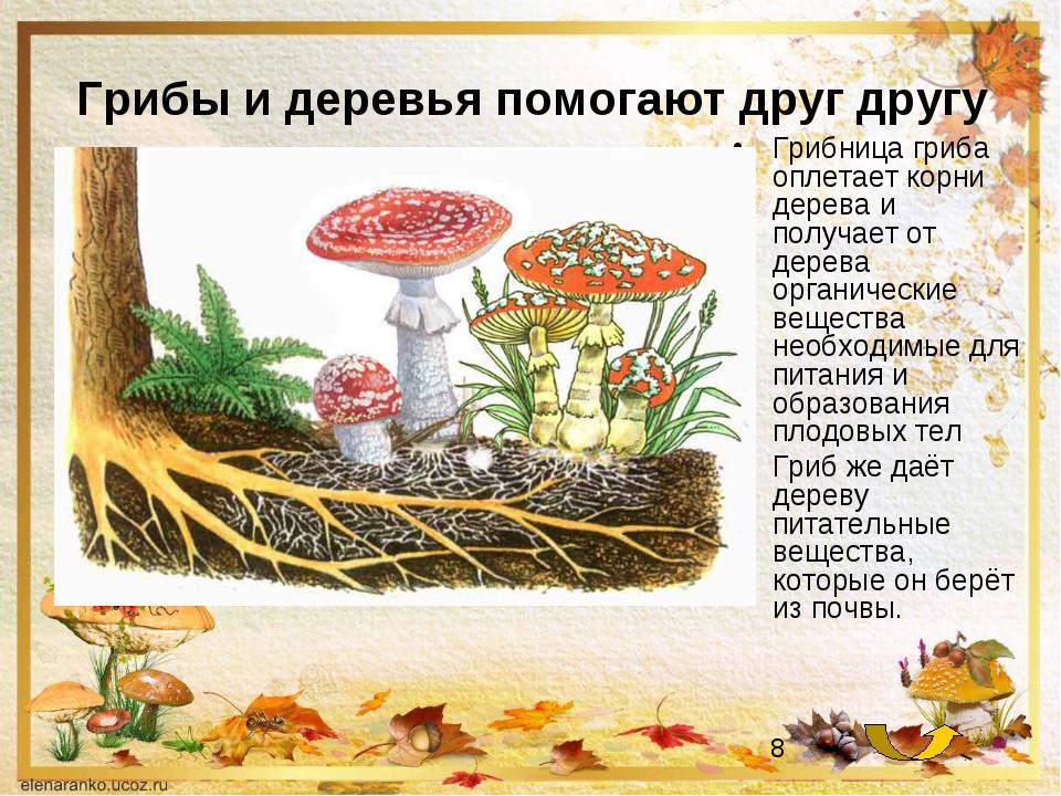 Грибы и деревья помогают друг другу Грибница гриба оплетает корни дерева и по...