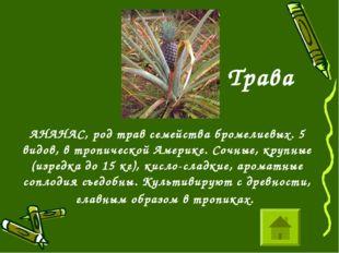 АНАНАС, род трав семейства бромелиевых. 5 видов, в тропической Америке. Сочн