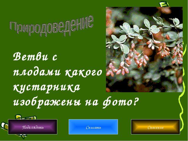 Ветви с плодами какого кустарника изображены на фото? Подглядеть Списать Спас...
