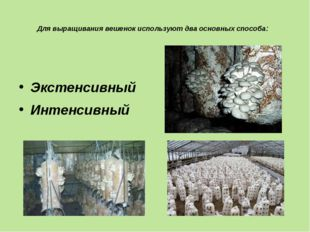 Для выращивания вешенок используют два основных способа: Экстенсивный Интенс