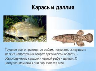 Карась и даллия Труднее всего приходится рыбам, постоянно живущим в мелких не