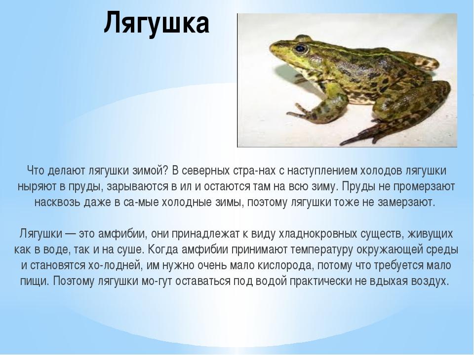 Лягушка Что делают лягушки зимой? В северных странах с наступлением холодов...