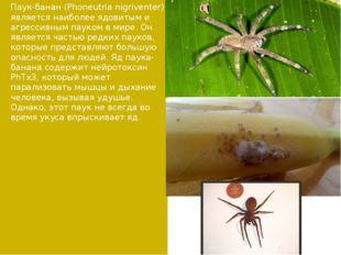Паук-банан (Phoneutria nigriventer) является наиболее ядовитым и агрессивным
