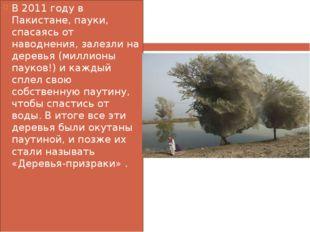 В 2011 году в Пакистане, пауки, спасаясь от наводнения, залезли на деревья (м