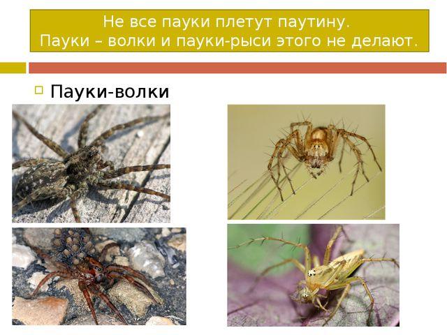Не все пауки плетут паутину. Пауки – волки и пауки-рыси этого не делают. Паук...