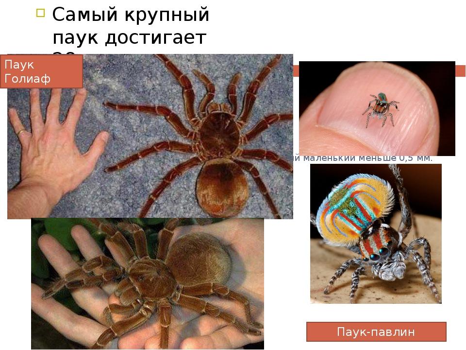 Самый крупный паук достигает 28 см. Самый маленький меньше 0,5 мм. Паук-павли...