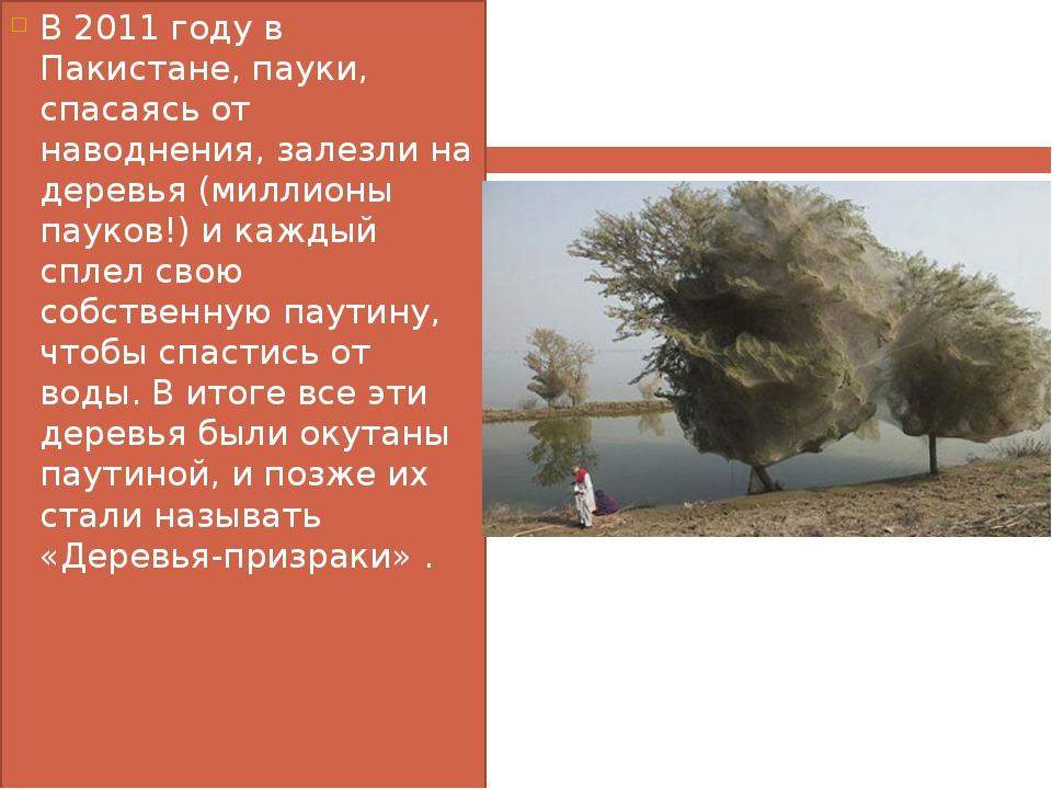 В 2011 году в Пакистане, пауки, спасаясь от наводнения, залезли на деревья (м...