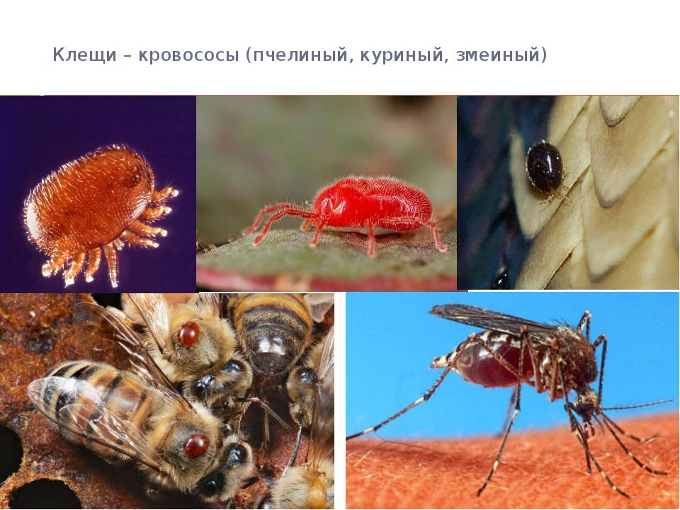 Клещи – кровососы (пчелиный, куриный, змеиный)