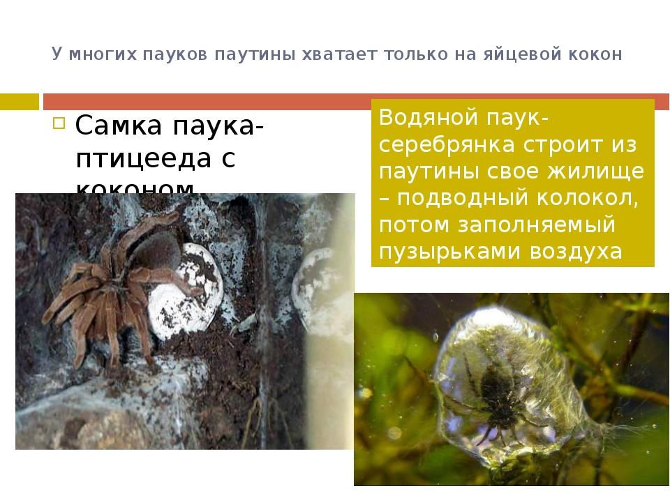У многих пауков паутины хватает только на яйцевой кокон Самка паука-птицееда...