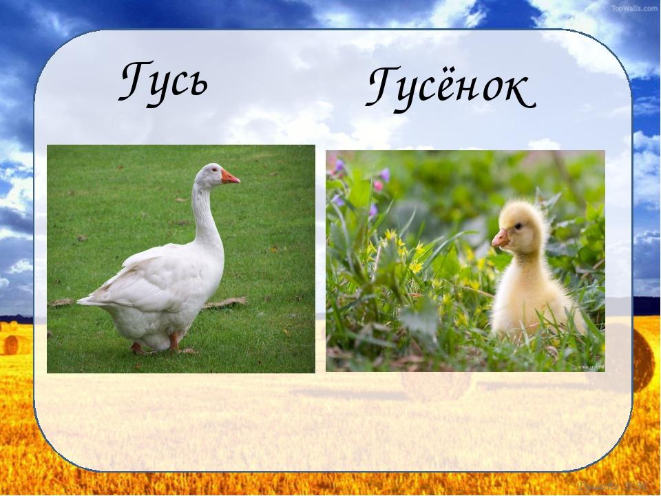 Гусь Гусёнок Дунаева Н.М.
