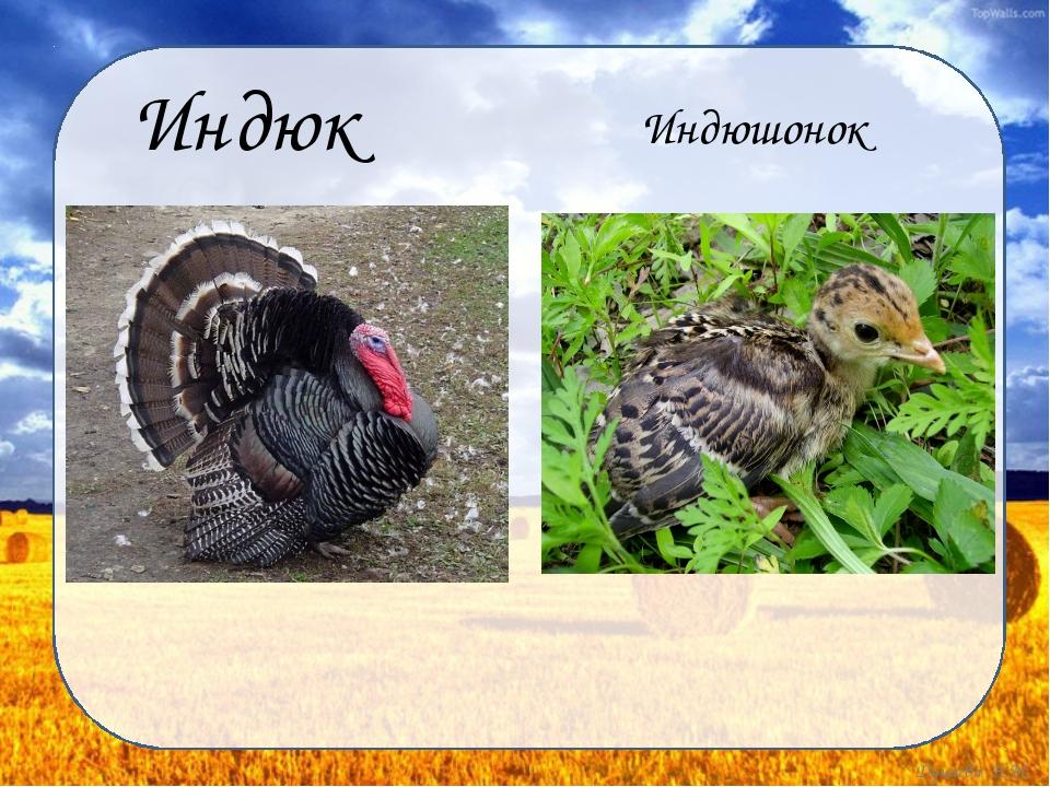 Индюк Индюшонок Дунаева Н.М.