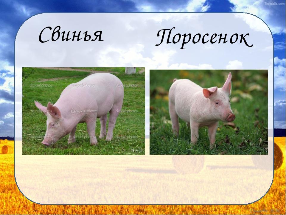 Свинья Поросенок Дунаева Н.М.