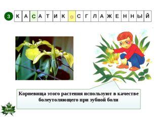 3 Корневища этого растения используют в качестве болеутоляющего при зубной боли