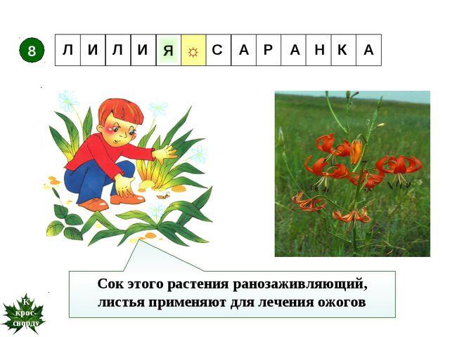 Сок этого растения ранозаживляющий, листья применяют для лечения ожогов 8