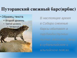 Путоранский снежный барс(ирбис) В настоящее время в Сибири снежные барсы обит