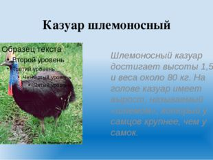 Казуар шлемоносный Шлемоносный казуар достигает высоты 1,5м и веса около 80